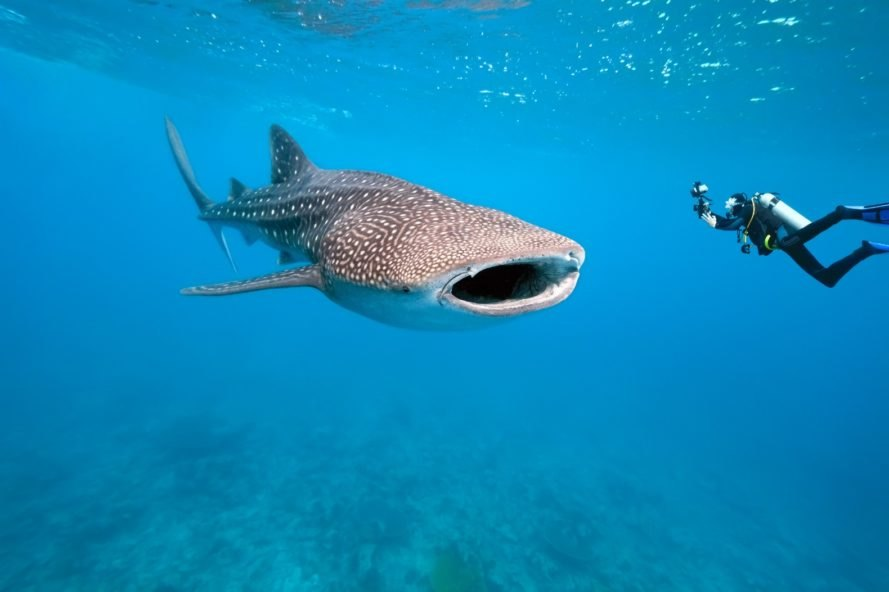 whale shark, filter feeder, whale shark underwater
