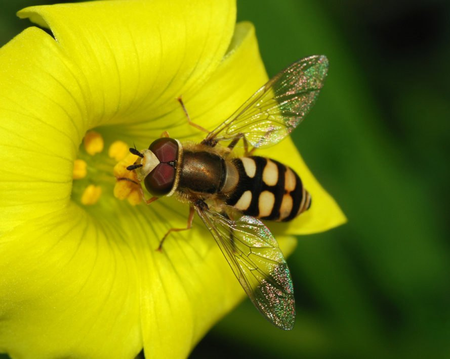 Hoverfly, hoverflies, insect, insects, flower, nature