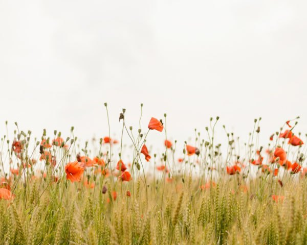 Wildflowers, wildflower, flowers, flower, poppies, poppy, nature, floral