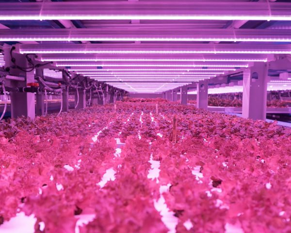 Badia Farms, indoor farm, vertical farm, indoor vertical farm, produce, greens, Dubai, hydroponics