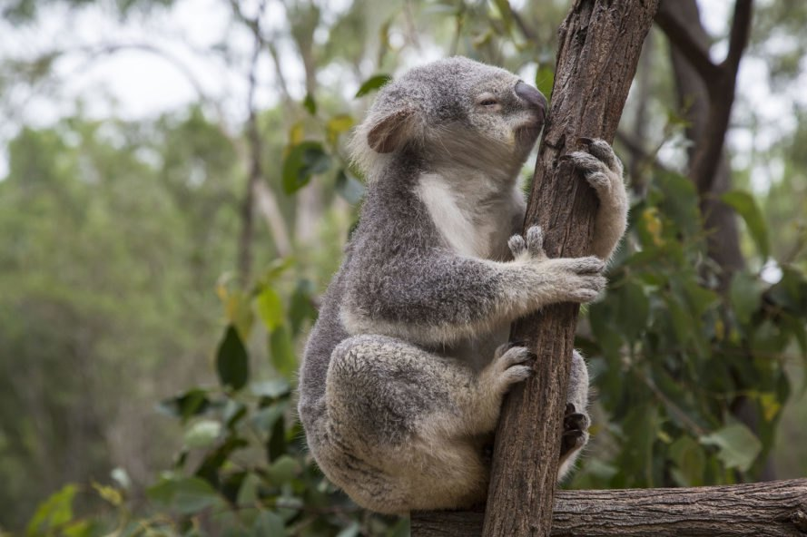 Koala, marsupial, animal, Brisbane, Australia, tree