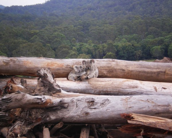 Koala, koalas, Queensland, Australia, deforestation, logs, trees