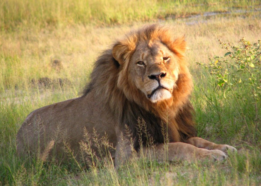 Cecil the Lion, Cecil the Lion death, Lion Hearted, Lion Hearted The Life and Death of Cecil and the Future of Africa's Iconic Cats, African lions, big game hunting, big game, Walter J Palmer, Dr. Walter James Palmer, Cecil the Lion killed, Cecil the Lion book, book about Cecil, book about African lions