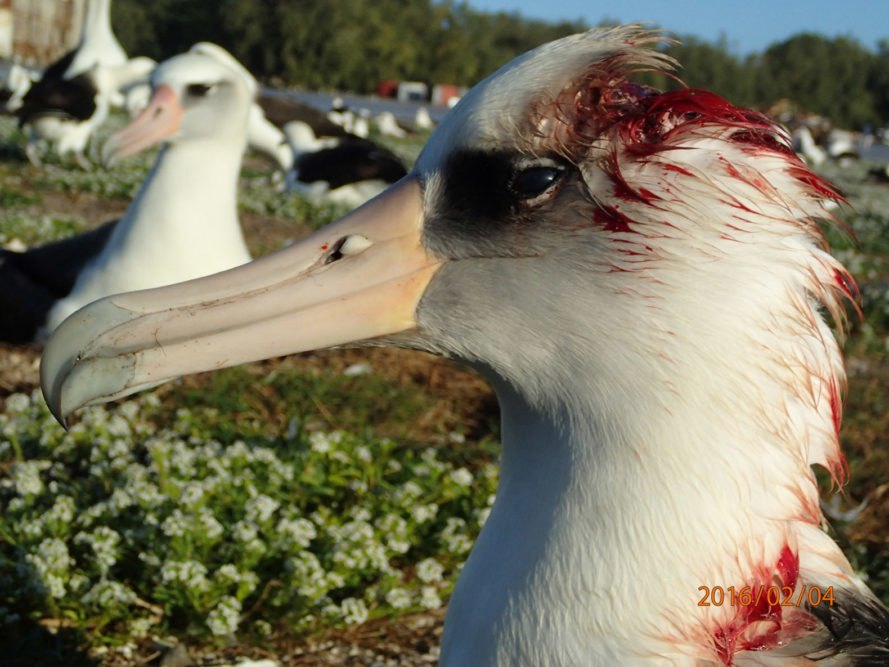 USFWS, US Fish and Wildlife Service, albatross, mice, invasive species, non native species, mice killing seabirds, mice killing birds, mice killing albatross, mice eating albatross alive, seabirds, seabird extinction, Midway Atoll