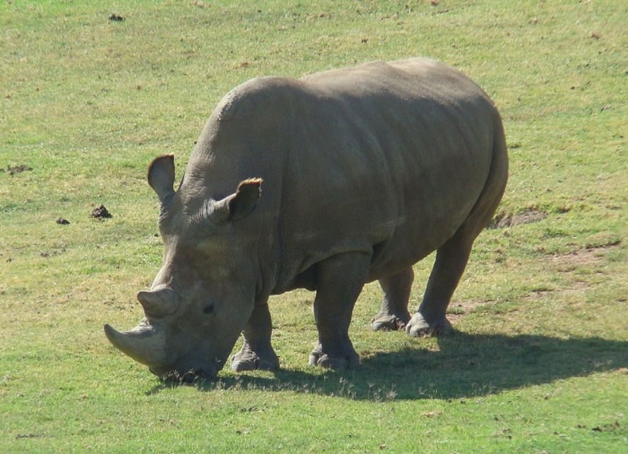 Last male northern white rhino in the world is sick