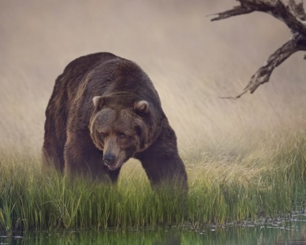 grizzly bear, bear, grizzly bear pond, pond