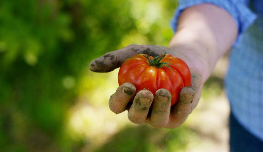 tomato, vegetables, fruit, agriculture, growing tomato, tomato harvest