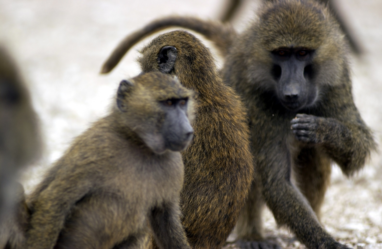 Baboons use a barrel to escape biomedical research institute in Texas