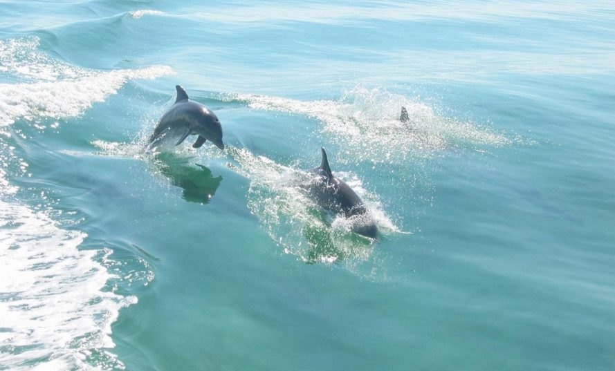 Bottlenose dolphins seen in Biscayne Bay, Florida