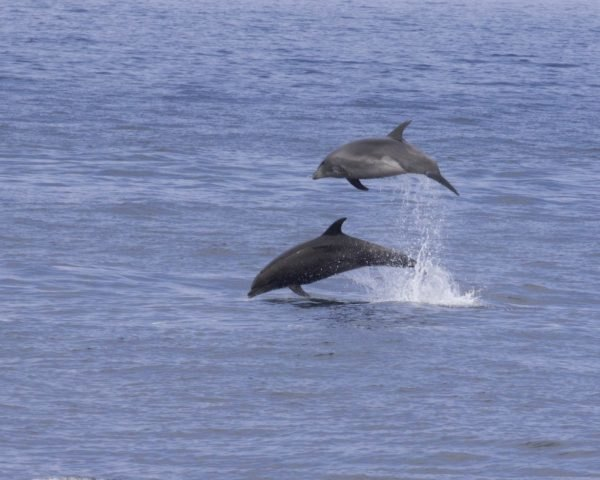 Common bottlenose dolphins jump into the air near the Channel Islands off the California coast