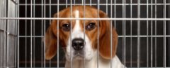A beagle dog is locked in a cage