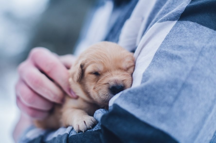A person wearing blue snuggles a tiny sleeping puppy