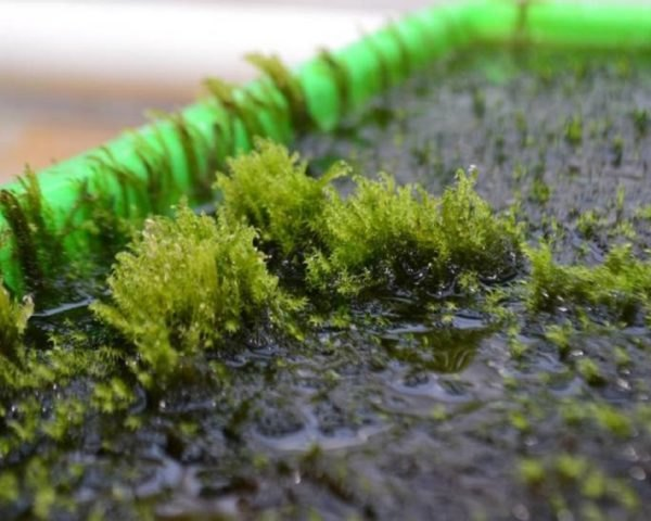 moss, arsenic, floating hook moss