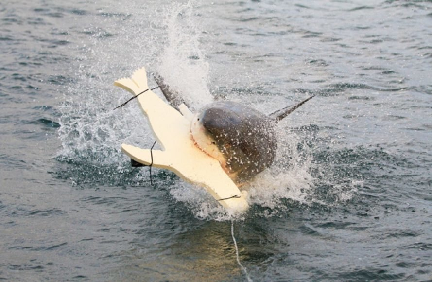 shark, sharks, seal decoy