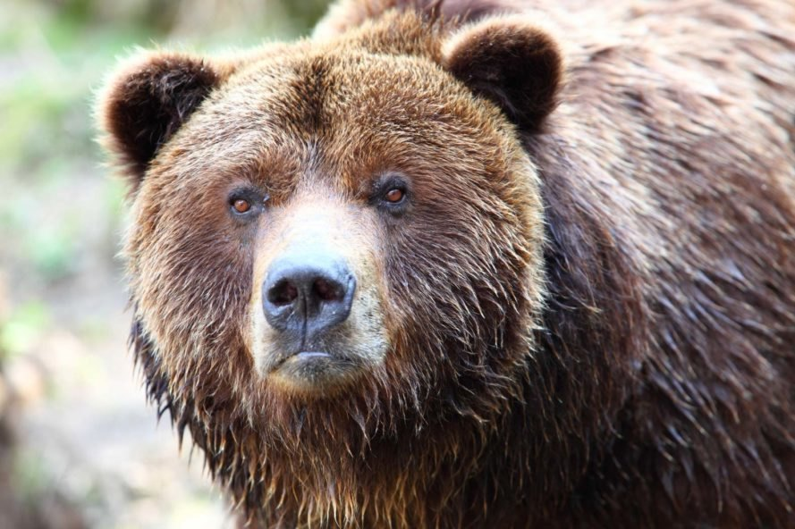 A grizzly bear watching the camera with a serious expression