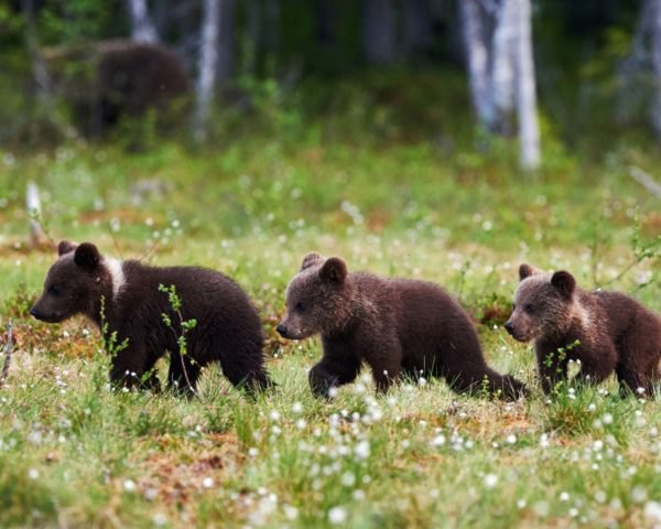 Three grizzly bear cubs walking through a meadow