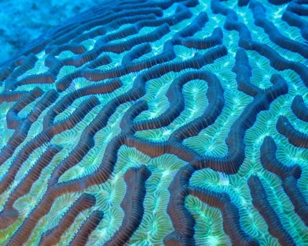 Close-up photograph of an underwater brain coral