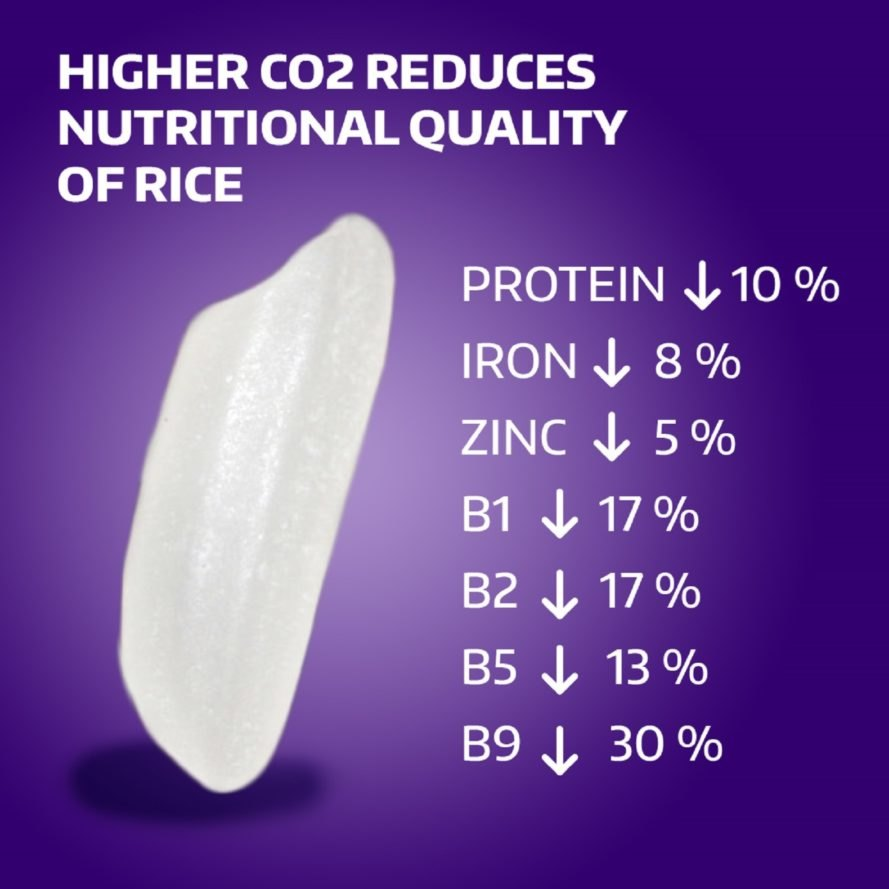A graphic which displays the nutritional impact of increased carbon dioxide in rice
