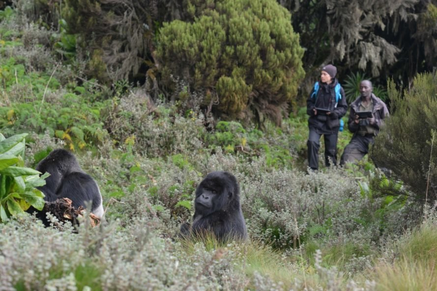 Work on the recent mountain gorilla census