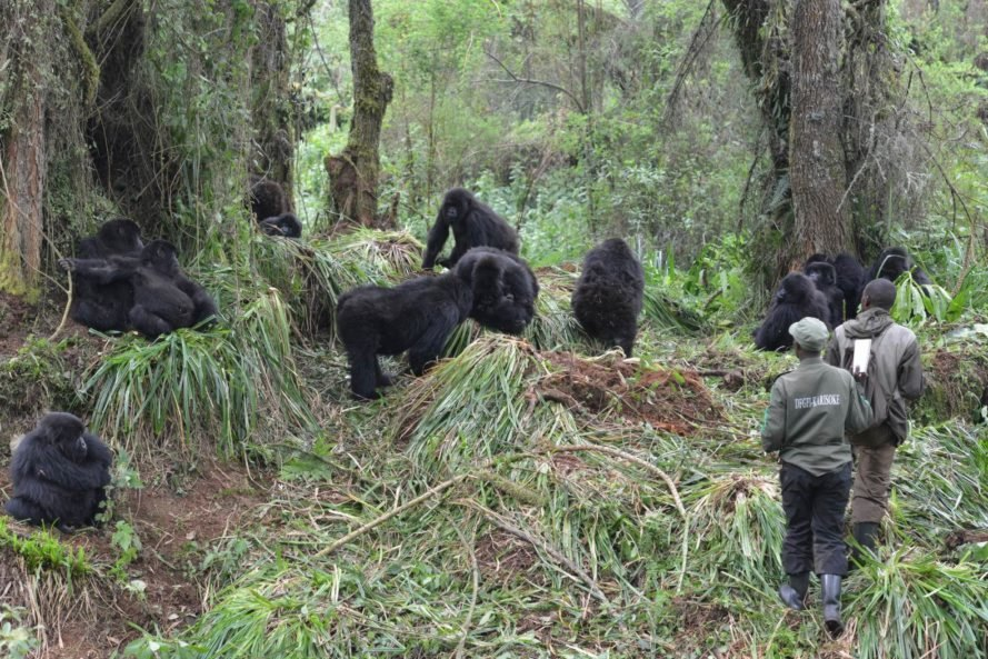 Mountain gorilla census conducted by Rwanda trackers