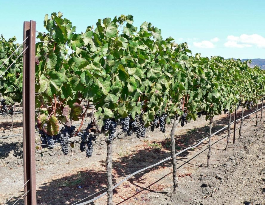 Grapevines in Napa Valley
