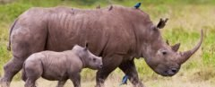 An adult rhinoceros walking with its calf