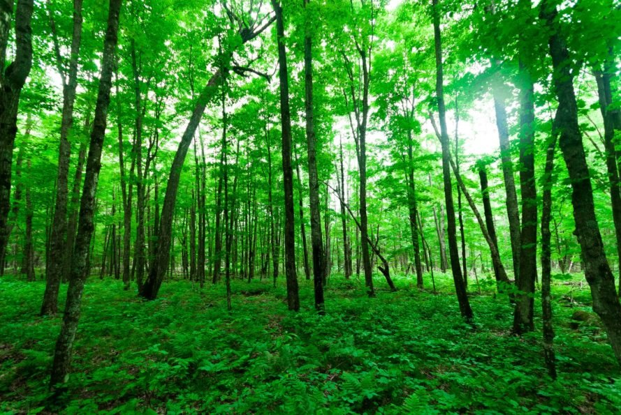 A green forest as seen from the forest floor