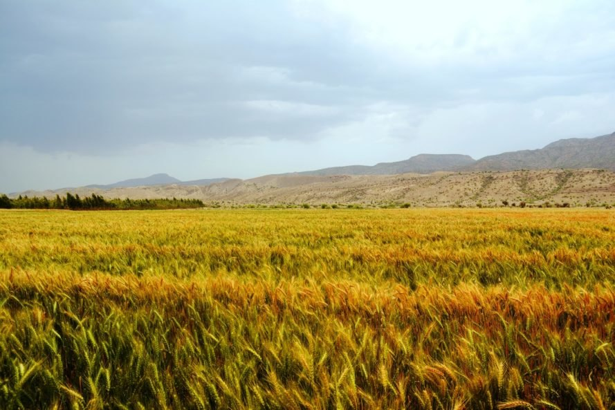 A yellow field of grain near mountains under a grey sky in Pakistan