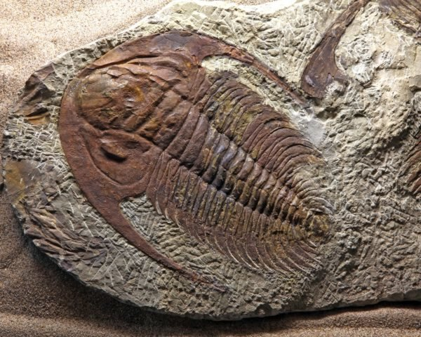 A close-up photo of an intact trilobite fossil