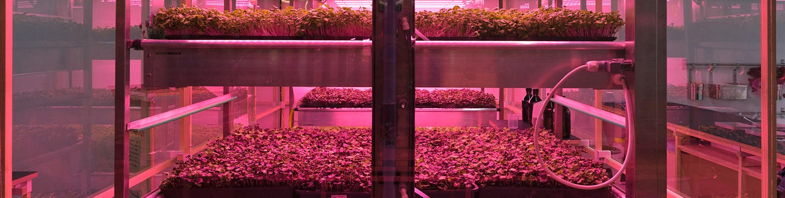Shelves of green plants under a red light