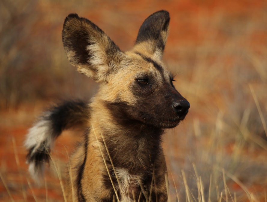 African wild dog looking off to the side
