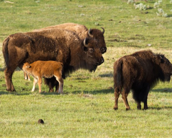 Bison on grass at Yellowstone National Park