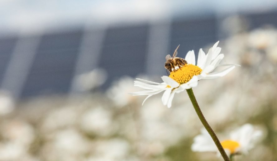 Close-up image of a honey bee landed on a flower with solar panels in the backgroudn
