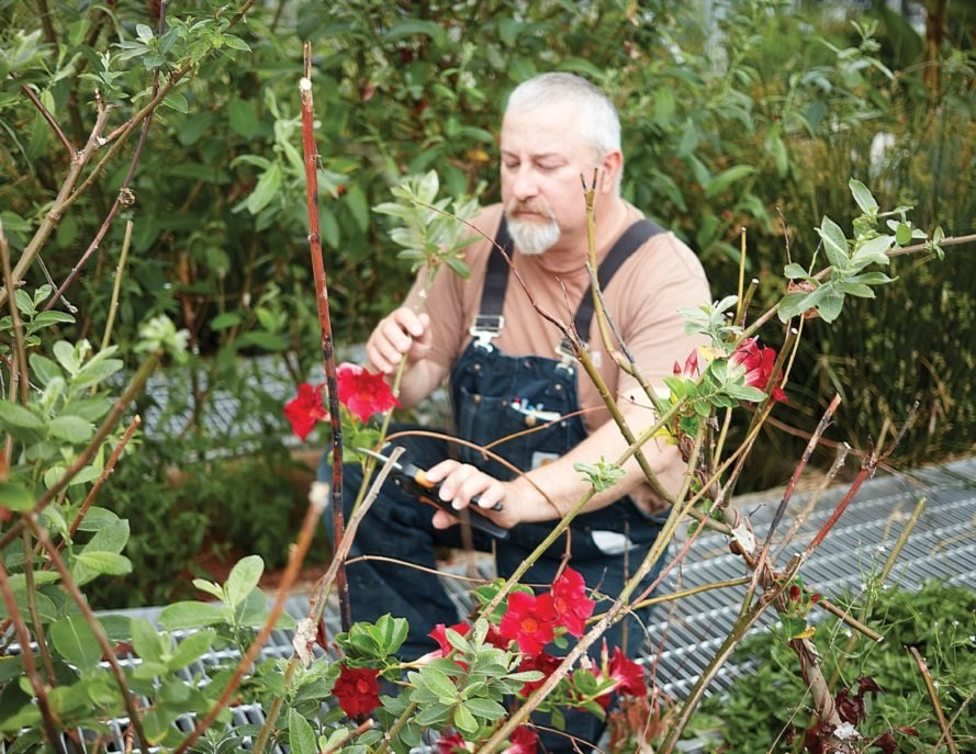 man pruning roses in greenhouse