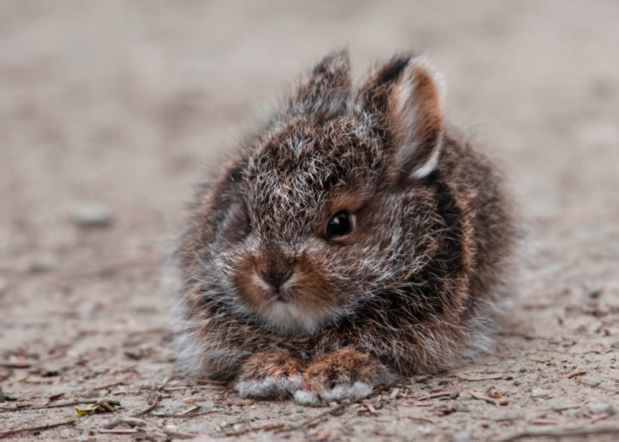 Small brown snowshoe hare