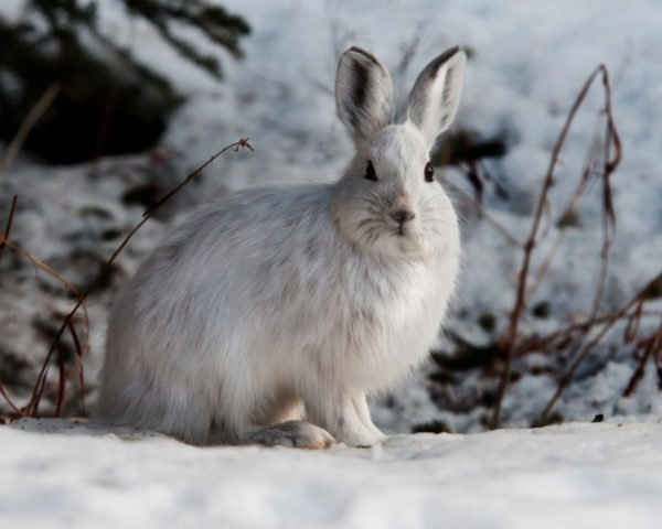 Snowshoe hare sitting in the snow