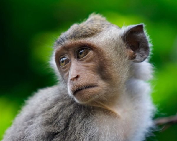 A close-up of a macaque monkey