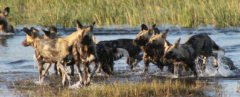 Pack of African wild dogs running through a river