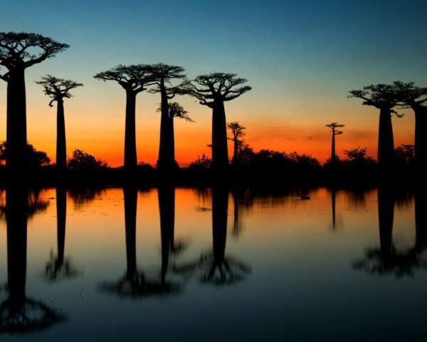 Silhouette of baobab trees at sunrise