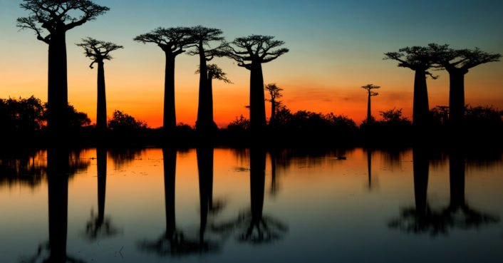 photo image Some of the oldest and largest baobab trees are dying