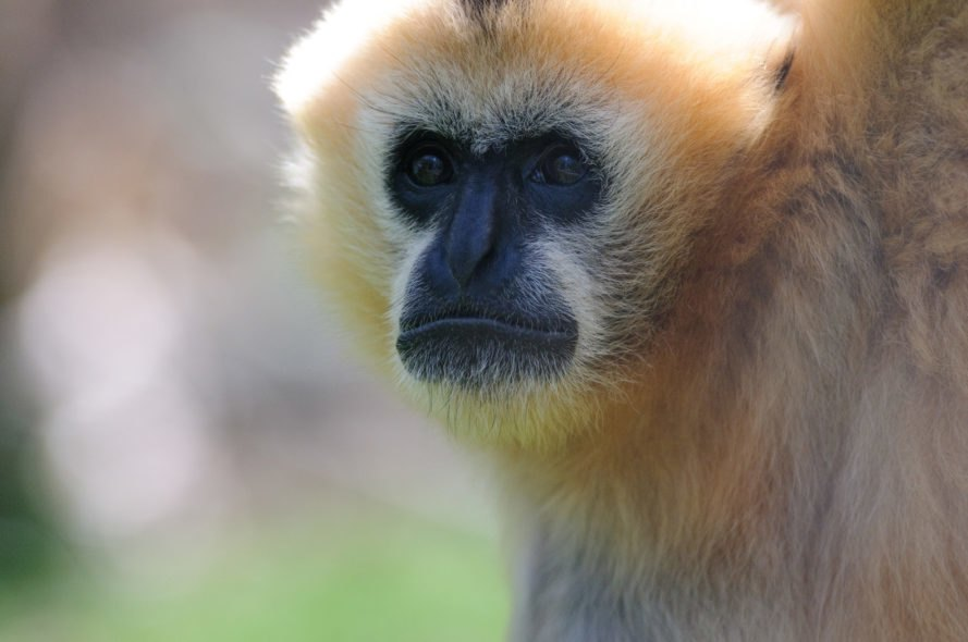 A gibbon looking off into the distance