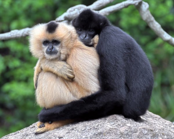 Two gibbons holding on to each other