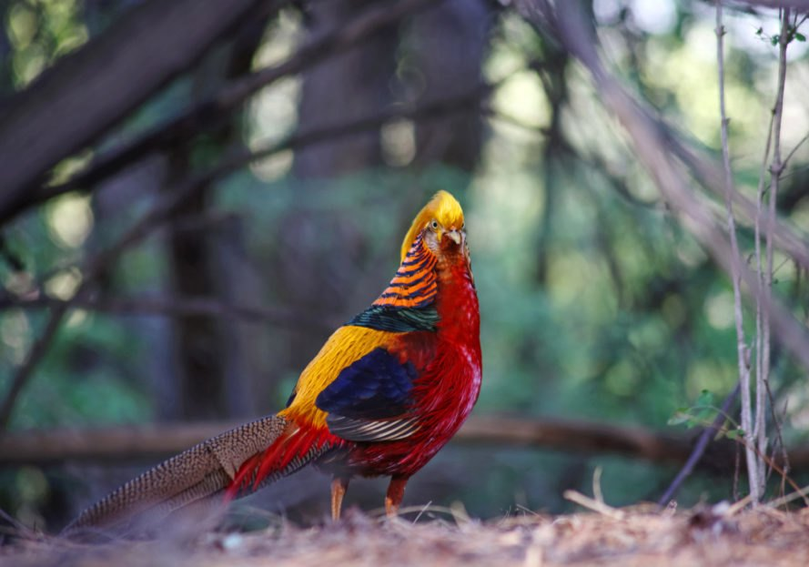 A golden pheasant with red, yellow and blue feathers