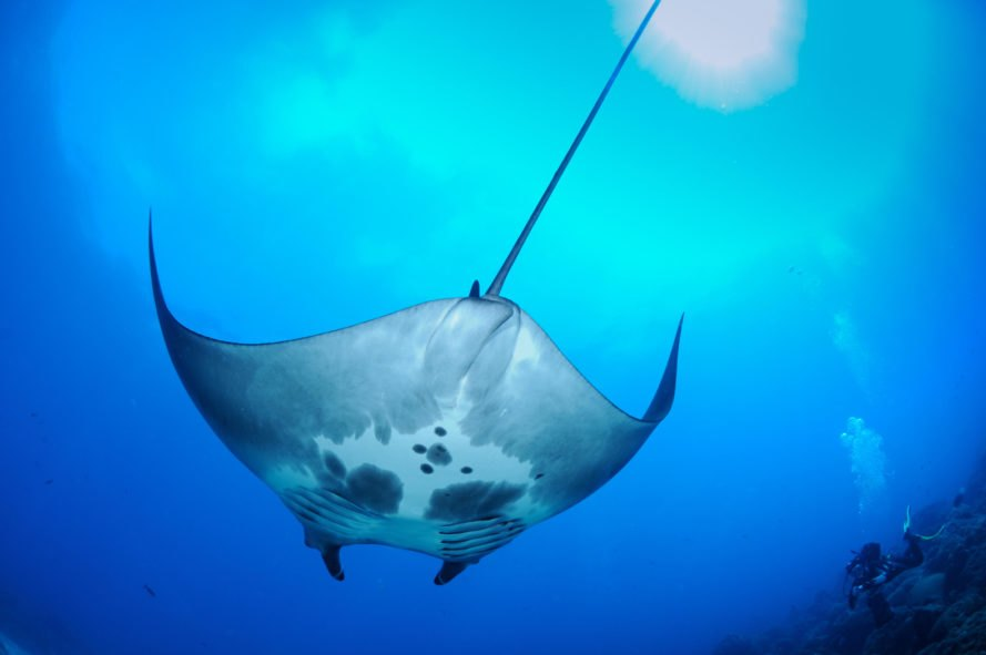 Spotted underside of swimming manta ray
