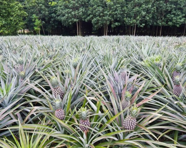 Pineapples growing in a field