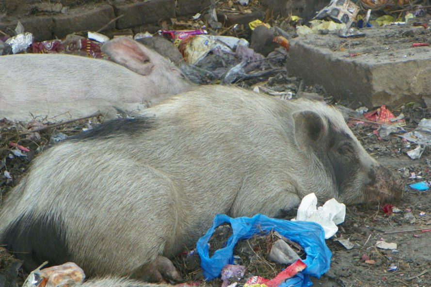 Pigs sleeping among plastic waste on a street in India