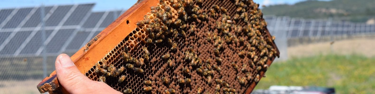 A close-up image of honey bees and hives near a solar farm