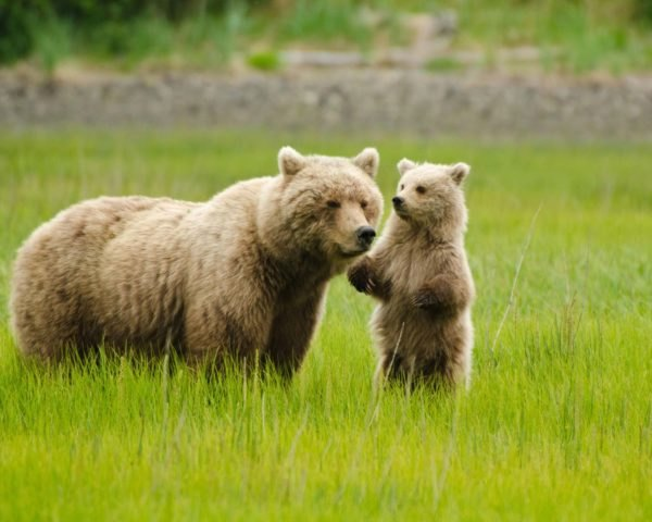 a grizzly bear and its cub standing in a grassy field