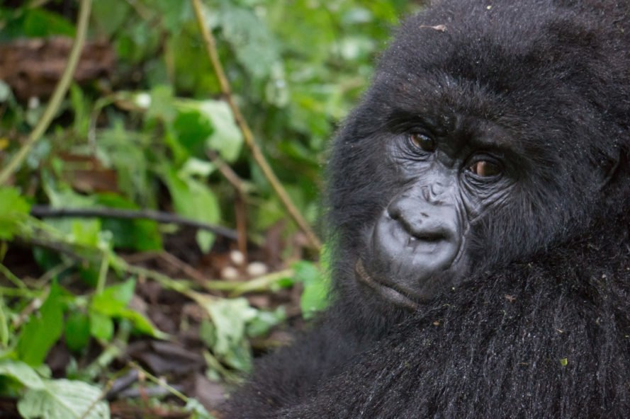 Adult mountain gorilla looking away from camera with sad face