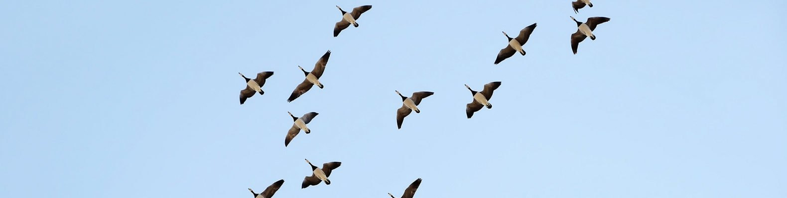 barnacle geese flying against blue sky